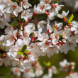 Stock Photo: Prunus tomentosa
