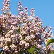 Lilacs grow in spring — Stock Photo #34371301