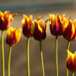 Tulip with bokeh. — Stockfoto