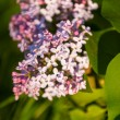 Lilacs grow in spring — Stock Photo #34598353