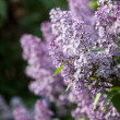 Lilacs grow in spring — Stock Photo #34598375
