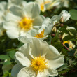 Dog-rose blooms — Stock Photo