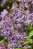 Lilacs grow in spring — Stock Photo
