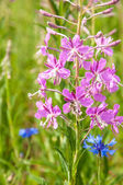 A great willowherb bloom with morning dewdrops. — Stock Photo