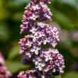 Lilacs grow in spring — Stock Photo #35038979