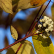 Stock Photo: Cornus alba