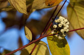 Cornus alba — Stock Photo