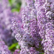Lilacs grow in spring — Stock Photo #37824509