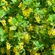 berberis ilicifolia — Stock Photo