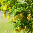berberis ilicifolia — Stock Photo #37824629