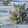 Stock Photo: Trees covered with rime