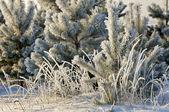 Alberi ricoperti di brina — Foto Stock