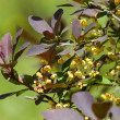 berberis ilicifolia — Stock Photo #38021521