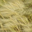 Постер, плакат: Feather grass Stipa