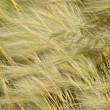 ������, ������: Feather grass Stipa