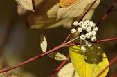 Cornus alba — Stock Photo