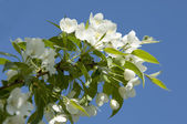 Apple-tree flowers — Stock Photo