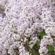 Stock Photo: Lilacs grow in spring