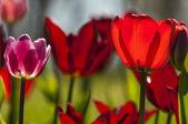 Tulip with bokeh. — Stock Photo