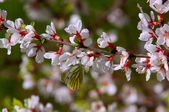 Prunus tomentosa — Stock Photo