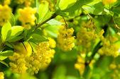 Berberis Ilicifolia — Stock Photo