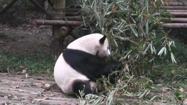 Voeding van de panda 's. — Stockvideo
