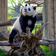 The Giant Panda - Stock Photo