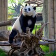 The Giant Panda — Stock fotografie