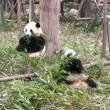 Stock Video: Giant pandbear at zoo. Chengdu. Sichuan. China.