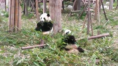 Giant panda bear at zoo. Chengdu. Sichuan. China. — Stock Video