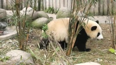 Giant panda bear at zoo. Chengdu. Sichuan. China. — Stock Video
