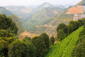 Tea terraces Yangshuo county. China. — Foto de Stock