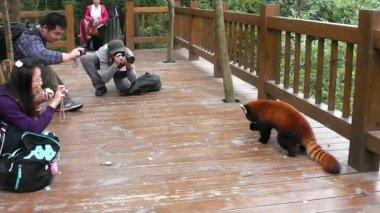 красная панда и люди. — Стоковое видео