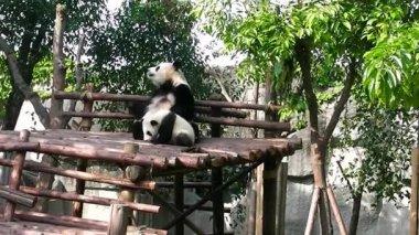Panda mom and baby. Chengdu. Sichuan. China. — Stock Video