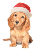 圣诞老人小狗 — 图库照片