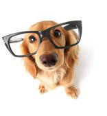 Divertido perro salchicha. — Foto de Stock