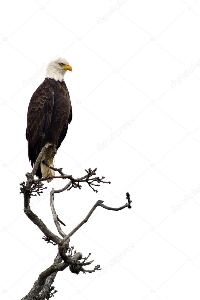 Bald eagle on a tree branch, isolated on white.  — Stock Photo #18989571