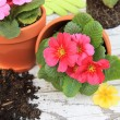 Spring Primula flowers and planters. Also available in horizontal. — Stock Photo