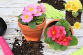 Spring gardening: Primulas — Foto Stock