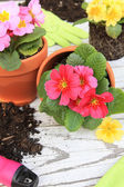 Spring Primula flowers and planters. Also available in horizontal. — Foto Stock