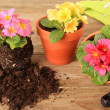 Spring gardening: Primulas — Stock Photo