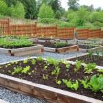Community vegetable garden — Stock Photo