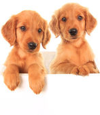 Golden Irish puppies — Stock Photo