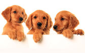 Golden retriever puppies — Stok fotoğraf