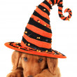 Stock Photo: Halloween puppy