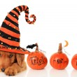 Halloween puppy — Stockfoto