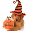 Halloween puppy — Stock Photo #32708939