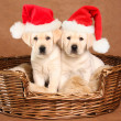 Santa puppies — Stock Photo