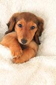 Dachshund puppy — Стоковое фото