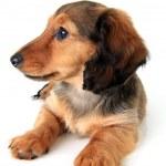 Постер, плакат: Dachshund puppy